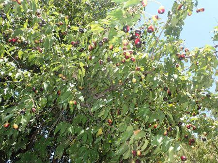 遊歩道の脇に甘い匂いがする実が成っていた食べてみた。黒い皮の下に白く薄い果肉がある。美味だが種が大きくて商品にはなりそうにない。