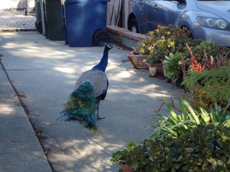 トレイルの入り口の住宅地でクジャクと遭遇。今日は3羽発見。