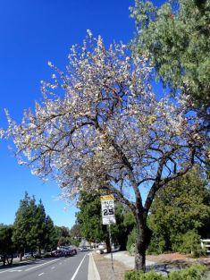 「なんちゃって桜」が8分咲き、残念ながら桜じゃないのよねぇ