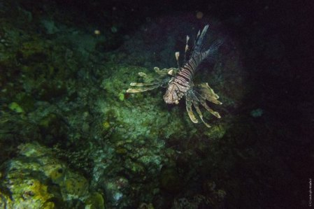 lion-fish-at-night-dive